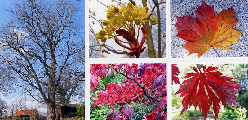 Japanischer Ahorn Vermehren. Interesting Acer Palmatum