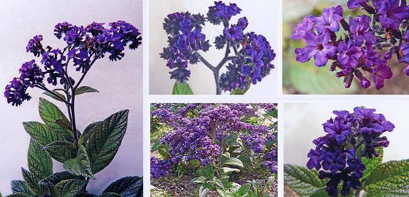 botanischer name heliotropium arborescens l syn h peruvianum l. Black Bedroom Furniture Sets. Home Design Ideas
