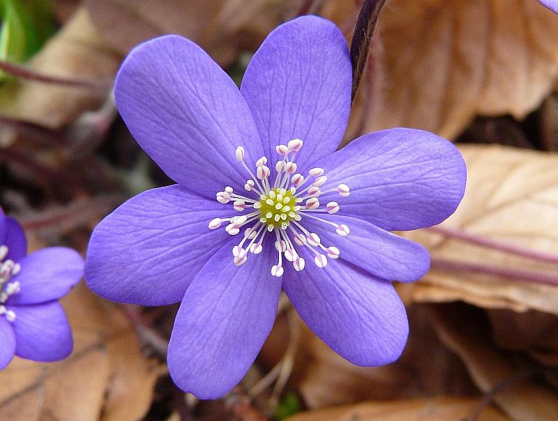 P1660173-1 - Hepatica nobilis Mill. - Leberblümchen, Europa bis O-Asien