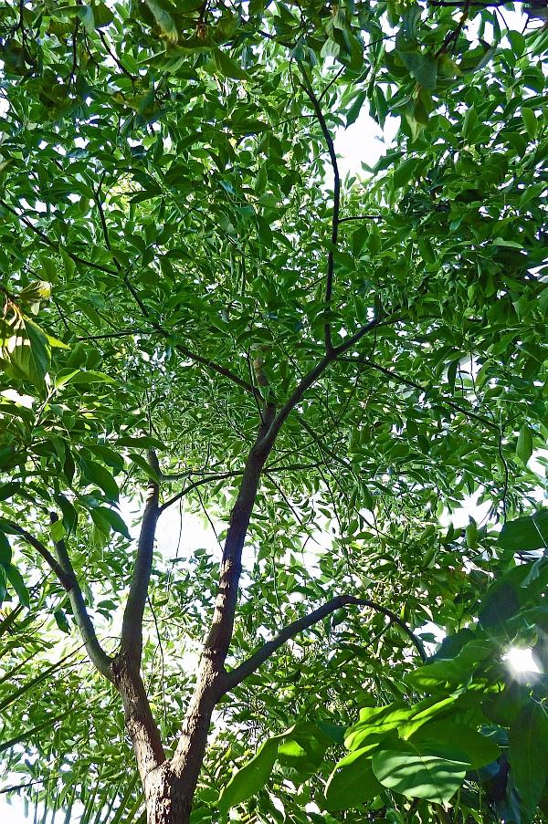 P1090946a - Cinnamomum camphora (L.) J.Presl - Kampferbaum, S-China,S-Japan