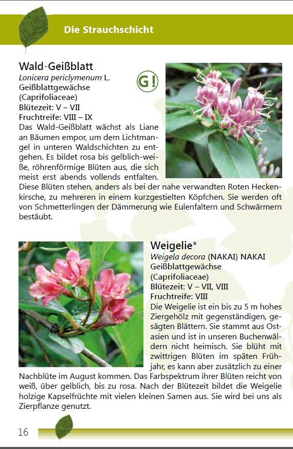 Einheimischer Buchenwald Seite 16